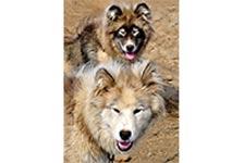 gronlandi-kutya-kutyatar-mania-02-hellodog-kutyatapok-eu
