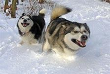 gronlandi-kutya-kutyatar-mania-03-hellodog-kutyatapok-eu